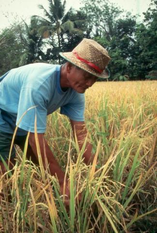 Philippines rice farmer