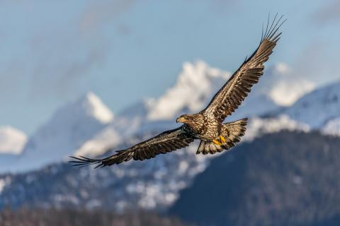 Eagle by Flickr/ Andy Morffew