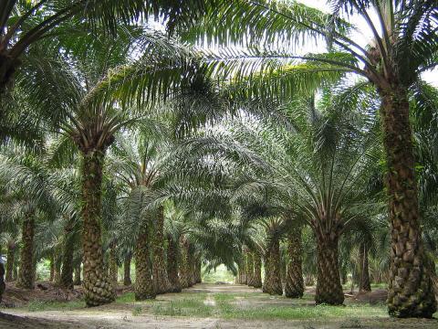 Malaysia palm plantation